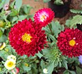 Flowers - Uncategorised Garden plants 87.JPG