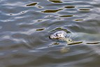 Focario de focas grises (Halichoerus grypus), Hel, Polonia, 2013-05-23, DD 02.jpg