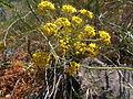 Foeniculum vulgare Sos Alinos Rural 16072014 40.437, 9.767.jpg