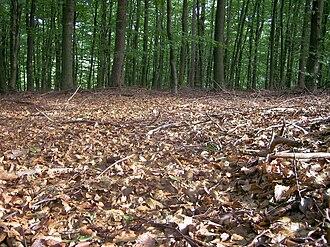 Forest floor - Forest floor of a temperate broadleaf forest showing leaf litter.