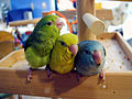 Forpus coelestis -three juveniles -colours-8a.jpg
