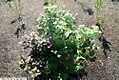 Fothergilla gardenii 9zz.jpg