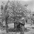 Fotograaf Willem van der Poll bij een sinaasappelboom op een citrusplantage bij , Bestanddeelnr 255-1220.jpg