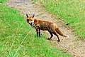 Fox near Bushey Wood, near Southorpe - geograph.org.uk - 602031.jpg