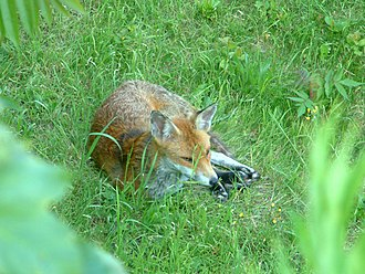 Vulpes - Red fox