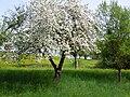 Frühling in der Streuobstwiese.jpg