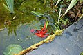 Frai de poissons rouges 4.jpg