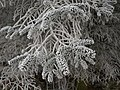 Frosted conifer, Shaw Wood - geograph.org.uk - 1113660.jpg