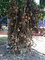 Fruit of Nagachampa.jpeg