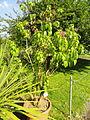 Fuchsia arborescens - Botanischer Garten, Frankfurt am Main - DSC03386.JPG