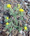 Fujeirah north 1501200713066 Arnebia hispidissima.jpg