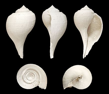 Five views of a shell of a Fulguropsis species Fulguropsis radula 01.JPG
