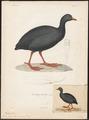 Fulica gigantea - 1841-1852 - Print - Iconographia Zoologica - Special Collections University of Amsterdam - UBA01 IZ17500239.tif