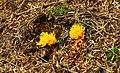 Fungus, Moneyscalp Wood (1) - geograph.org.uk - 915382.jpg