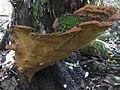 Fuscoporia torulosa (Pers.) T. Wagner & M. Fisch 318649.jpg