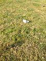 Güvercin ve çimen.JPG