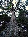 GAINT TREE^SABARIMALA KERALA - panoramio.jpg