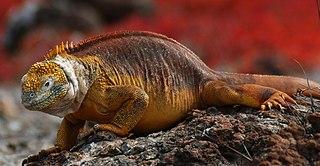 Galapagos land iguana species of reptile