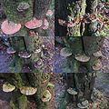 Ganoderma lipsiense Syn. Ganoderma applanatum (Artist's Bracket or Artist's Conk, D= Flacher Lackporling, F= polypore aplani, NL= Platte tonderzwam) brown spores and causes white rot, at Schaarsbergen forest during 1.5 - panoramio.jpg