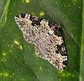 Garden Carpet. Xanthorhoe fluctuata ( f.thules^) - Flickr - gailhampshire.jpg