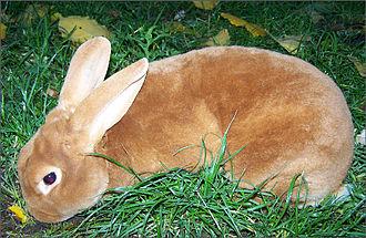 un lapin roux à poil très court et dense
