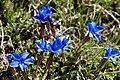 Gentiana orbicularis-5013 - Flickr - Ragnhild & Neil Crawford.jpg