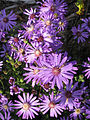 Georgia aster flowers. Credit Michele Elmore, The Nature Conservancy, Georgia. (13311614035).jpg