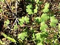 Geranium rotundifolium sl25.jpg