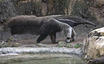 The giant anteater, one of the inhabitants of Los Katíos..