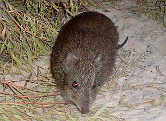 Gilbert's potoroo - Gilbert's potoroo from Two People's Bay captive colony February 2009