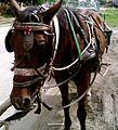 Gipsy horse.jpg