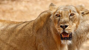 Gir Lioness.jpg