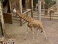 Giraffa camelopardalis - Giraffe - Girafe - Oasis Park - 04.jpg