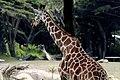 Giraffe (616423083).jpg