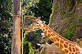 Giraffe eating at zoo 30913292011.jpg