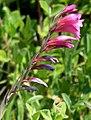 Gladiolus palustris (03).jpg