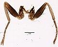 Glossina palpalis (YPM IZ 099606).jpeg