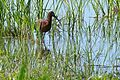 Glossy Ibis (Plegadis falcinellus) (26469199552).jpg