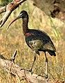Glossy Ibis Plegadis falcinellus by Dr. Raju Kasambe DSCN1211 (3).jpg
