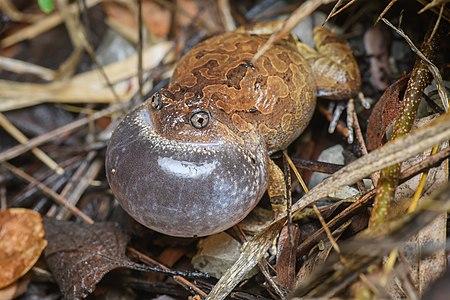Striped spadefoot frog