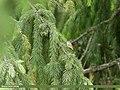 Goldcrest (Regulus regulus) (46185690384).jpg