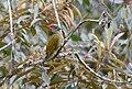 Golden-olive Woodpecker (25152953045).jpg