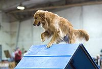 http://upload.wikimedia.org/wikipedia/commons/thumb/b/b1/Golden_Retriever_agility_A-frame.jpg/200px-Golden_Retriever_agility_A-frame.jpg