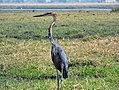 Goliath heron (Ardea goliath) Lochinvar National Park in Zambia.jpg