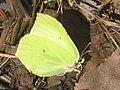 Gonepteryx rhamni ♂ - Common brimstone (male) - Лимонница (самец) (27303396288).jpg
