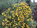Gorse bush, England.JPG