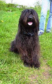 Catalan Sheepdog Wikipedia