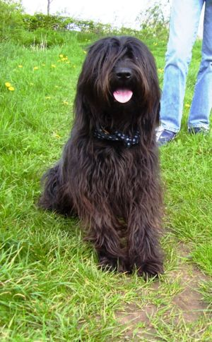 Catalan Sheepdog - Catalan sheepdog, sitting
