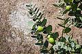 Gråbladig kronbuske.jpg