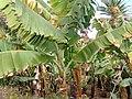 GrüneBananenInArucas2008.jpg